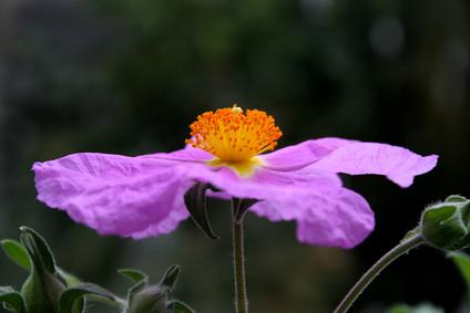 Zistrose Cistus incanus Heilpflanze gegen Grippe und grippale Infekte